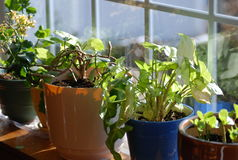 Home Garden. The morning sun is shining through this bay window onto a collection of home plants Royalty Free Stock Images