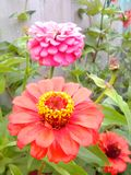 Home and garden. Beautiful zinnias blooming on the wall Stock Photo