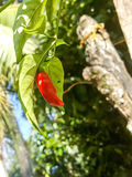Home-garden Chilli Stock Image
