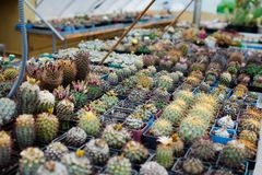 Home Garden collection of cactus. Plants in the greenhouse Royalty Free Stock Photo