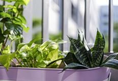 Home and garden concept of Golden pothos and Snake plant Stock Images