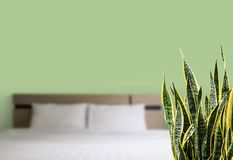 Sansevieria trifasciata or Snake plant in the bedroom. Home and garden concept of sansevieria trifasciata or Snake plant in the bedroom stock image