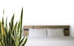 Snake plant in the bedroom. Home and garden concept of sansevieria trifasciata or Snake plant in the bedroom stock images