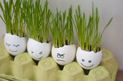Angry and happy emotions faces drawing in the eggs shell. Fresh growing green  wheat sprouts. Home garden funny diy ideas stock photos