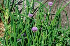 The home garden with green chives and purple flowers royalty free stock photography