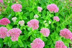 Home Garden Park Pink Flowers Planting and Gardening Background Stock Photo stock images