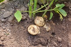 Home Garden/Potato Harvest. Potatoes planted in March in Japan can be harvested in June Royalty Free Stock Images