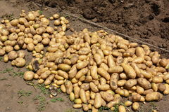 Home Garden/Potato Harvest. Potatoes planted in March in Japan can be harvested in June Stock Images
