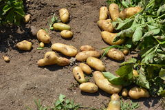 Home Garden/Potato Harvest. Potatoes planted in March in Japan can be harvested in June stock photos