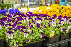 Home and garden store in spring. Potted flowers and plants on display at a home improvement store in spring Stock Photos