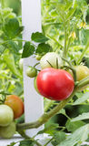 Home garden tomatoes on white fence starting to ripen Royalty Free Stock Photo