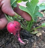 A home gardener harvesting a ripe red radish royalty free stock photo