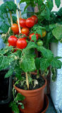 Home gardening, cherry tomato plant Stock Photo