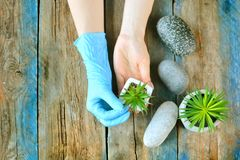 Home gardening concept. Gardener`s hands works with green plant. stock image
