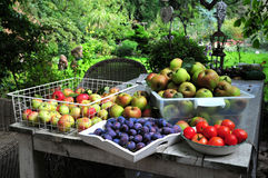 Home gardening harvest. Baskets full of apples, prunes and tomatoes harvested from a home garden, displayed on the garden table Stock Photography