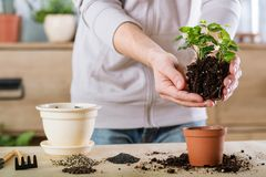 Home gardening plant transplantation hands replant stock images