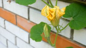 Home gardening. Pumpkin flower grows and blooms against brick wall background. Sways in the wind. stock video