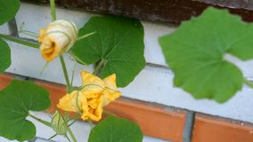 Home gardening. Pumpkin flower grows and blooms against brick wall background. Sways in the wind. stock footage