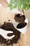 Home gardening relocating house plant Royalty Free Stock Photos