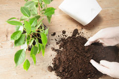 Home gardening relocating house plant Royalty Free Stock Image