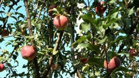 Home gardening. Time to harvest. Ripe juicy red apples hang on tree branch in garden. stock footage