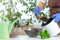 A young woman transplants plants in another pot at home. royalty free stock images