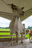 The home goat Capra hircus Royalty Free Stock Photo