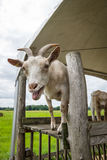 The home goat Capra hircus Stock Photography