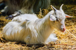 Home Goat Royalty Free Stock Photo