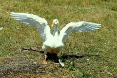 Home goose spread his wings Royalty Free Stock Photos