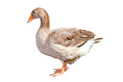 Home goose on a white background Stock Photography