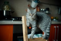 cat acrobat British breed Royalty Free Stock Images