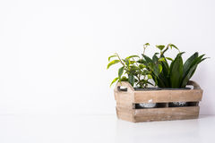 Home green plants in wooden box. Home garden green plants in wooden box. Planting and gardening objects on white background isolated Stock Photography