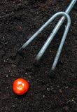 Home Grown. A small tomato on soil with a miniature rake Stock Photo