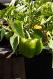 Home grown bell pepper Stock Images