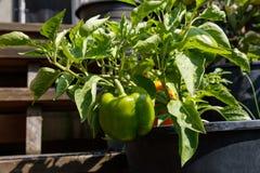 Home grown bell pepper Stock Photos