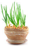 Home-grown chive in a vintage pot Stock Image