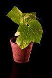 Cucumber plant Royalty Free Stock Photography