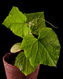 Cucumber plant Stock Photography