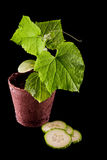 Cucumber plant Royalty Free Stock Photos