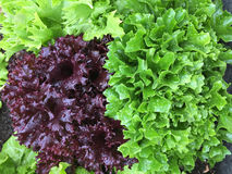 Home grown curly lettuce in purple color and other fresh salad l Stock Photo