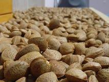 Home grown, drying almonds. Stock Photos