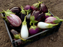 Home grown eggplants. Fresh harvested eggplants in plastic container stock image