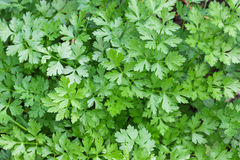 Home grown Flat leaved Parsley. Closeup photo of home grown Flat leaved Parsley in a pot Royalty Free Stock Photos