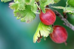 Home-grown Gooseberry Royalty Free Stock Image