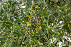 Home grown green European Olive fruit on its tree branches, Autu Stock Images