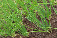 Home grown green spring onion growing in soil ready to harvest Stock Images