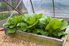 Home Grown Leaf Lettuce. Homegrown leaf lettuce in a wooden above ground box in a backyard garden greenhouse stock photos
