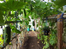 Home grown marrow. Dads home grown marrows in a polytunnel Stock Photography