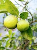 Organic lemons. Home grown organic lemons perfect for a salad dressing or a lemonade Stock Image